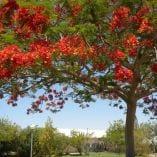 flame tree kibbutz chaya