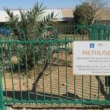 w-methuselah-date-palm-from-massada-ruines-in-kibb-1453234900