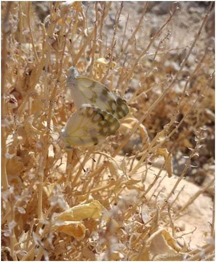 photo essay butterfly research in the desert arava pontia glauconome a typical desert butterfly from the family of pieridae whites in the wadi outside kibbutz ketura photos by nora haack