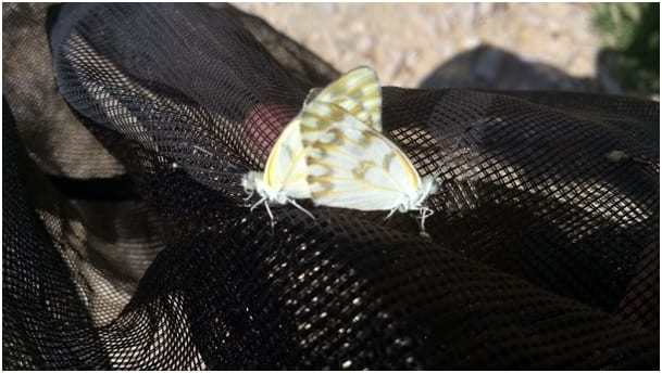 photo essay butterfly research in the desert  pontia glauconome a typical desert butterfly from the family of pieridae whites in the wadi outside kibbutz ketura photos by nora haack