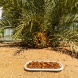 dates on plate in front of tree